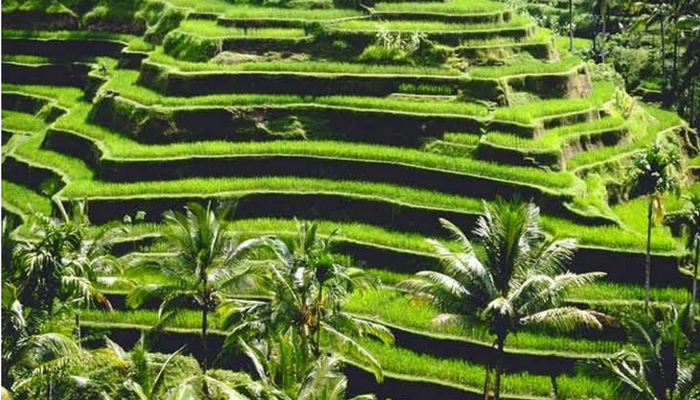 Tegalalang UNESCO rice terrace Bali