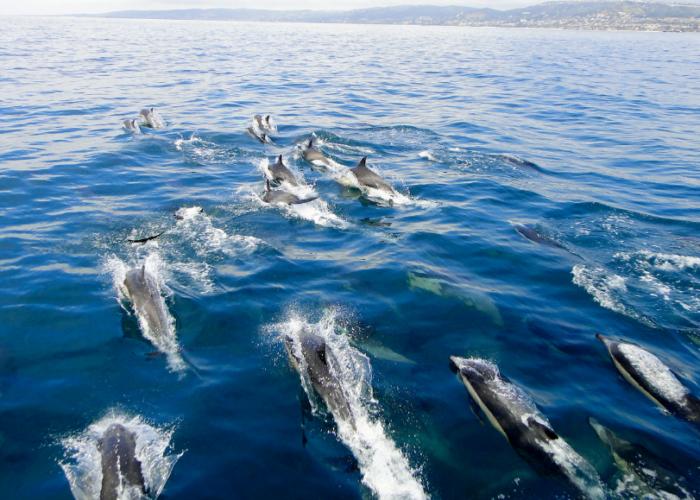 Lovina Wild Dolphin